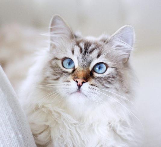 Beautiful Face of a Siberian Cat