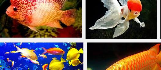Jenis Ikan Hias Air Tawar Paling Cantik Serta Harganya