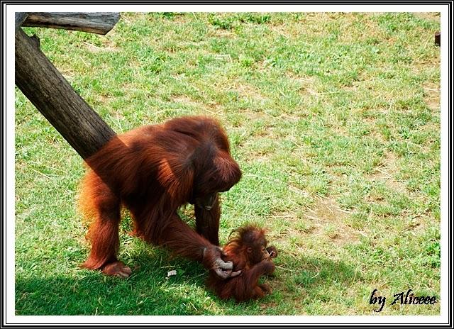 zoo-Nyiregyhaza-maimute