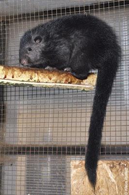 Panay bushy tailed cloud Rat