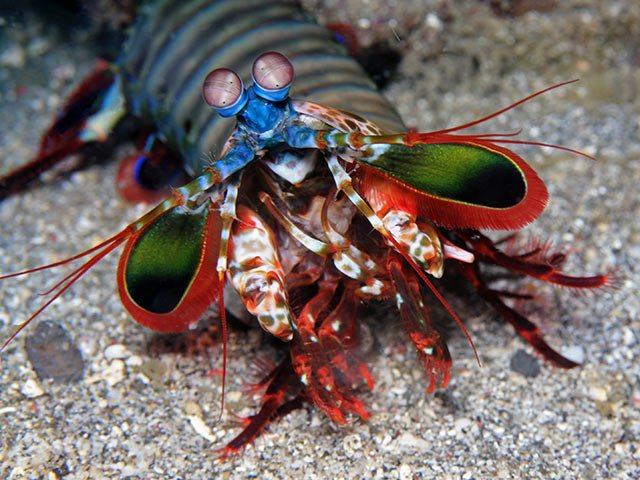 MANTIS SHRIMP,Udang Mantis,
