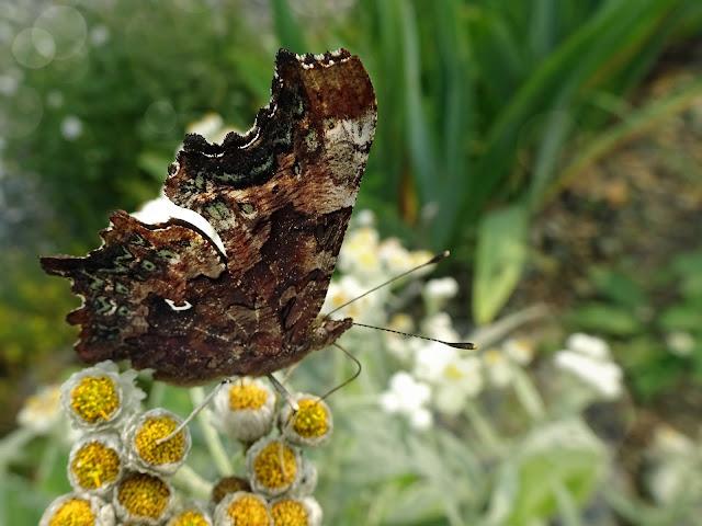 Newfoundland Butterflies