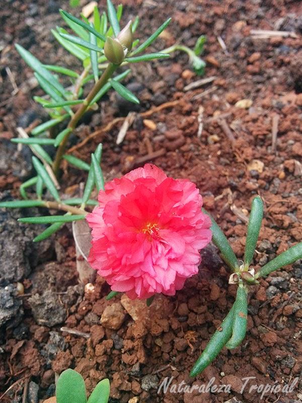 Variedad moñuda de la flor Diez del Día  rosada (Portulaca pilosa)