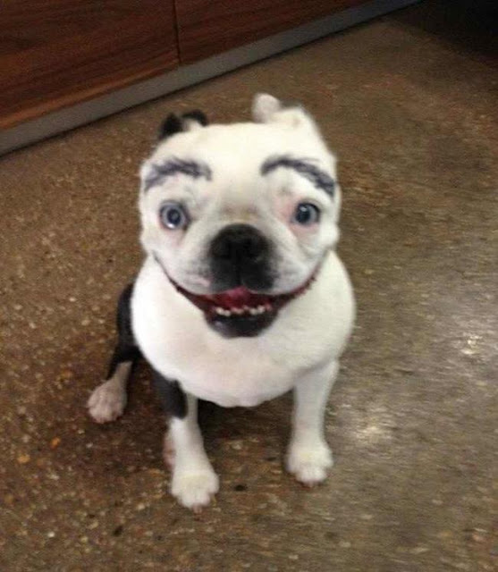 17 em chó có lông mày còn kinh dị hơn cả lông mày nhể ốc