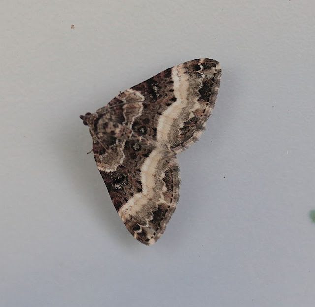 Einzahn-Winkelspanner, Euphyia unangulata