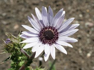 Berkhéye pourpre - Berkheya purpurea