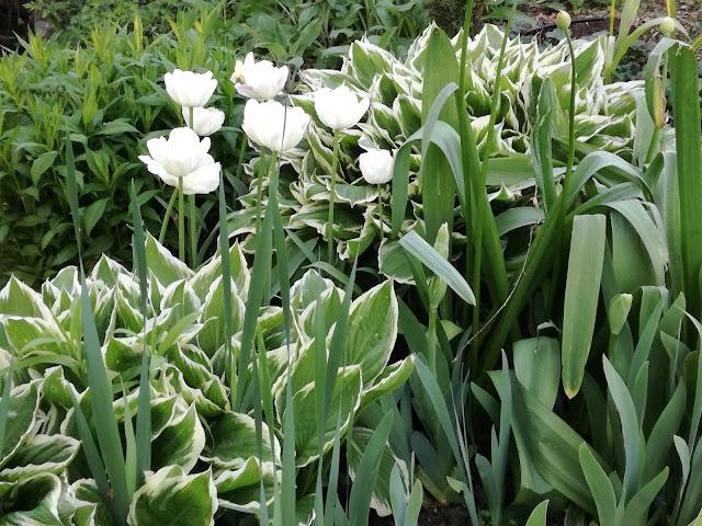 hosty i tulipany