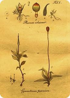 As Ilustrações de Musgos Feitas por Johann Hedwig