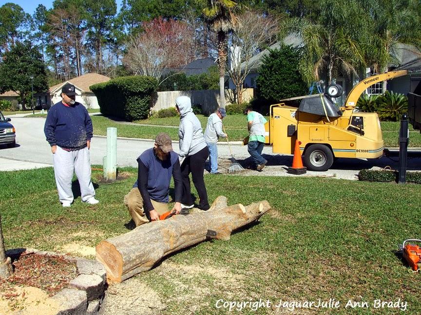 Drake Chinese Elm Tree Removal Jacksonville Florida
