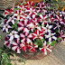Benih Bibit Bunga Petunia Star