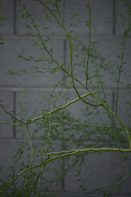 Parkinsonia florida, Blue Palo Verde, tree following meme, small sunny garden