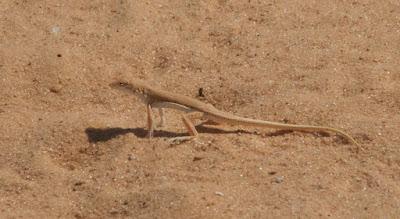Long Fringe Fingered Lizard (Acanthodactylus longipes)