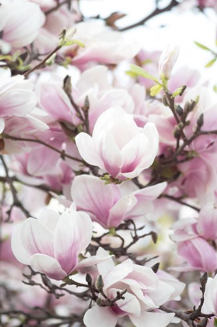 Magnolia heaven