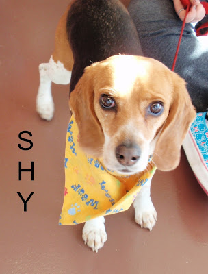 Adoptable Beagle named Shy