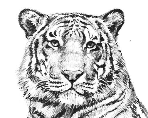 светолюбивое амурский тигр фото для раскраски отличается простотой
