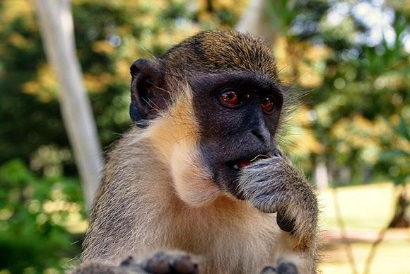 monkey gambia