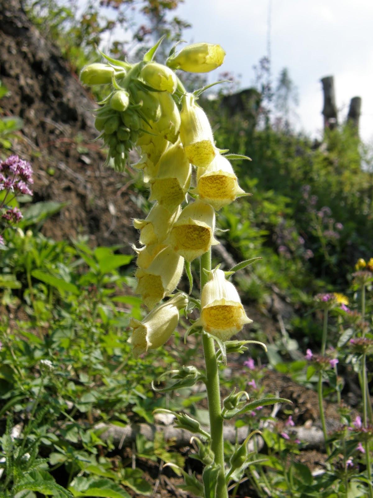 flori-galbene-padure-degetel-galben-digitalis-grandiflora (2)