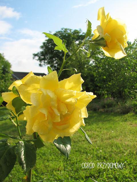 żółta róża w ogrodzie