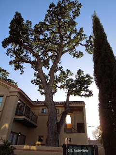 Oak Tree in Downtown Paso Robles, © B. Radisavljevic