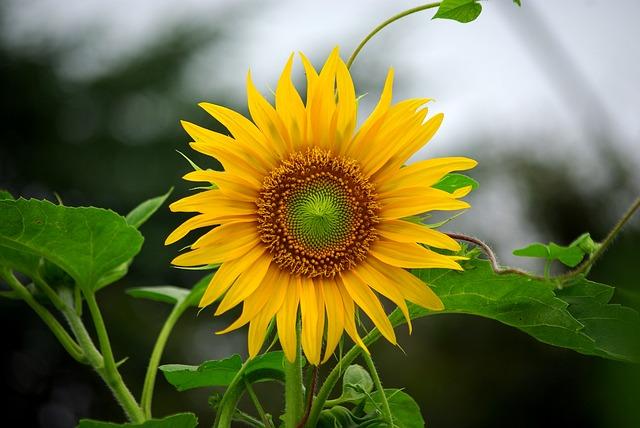 hoa huong duong dep nhat