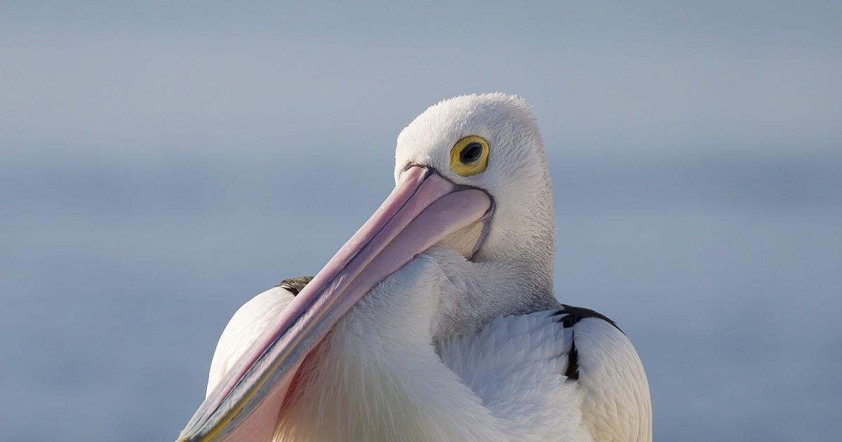 Slikovni rezultat za biologija pelikan