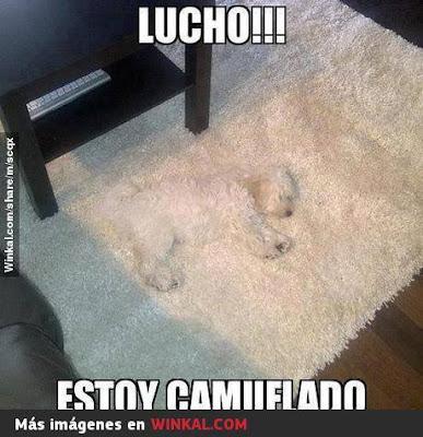 Lucho !,  estoy camuflado, perro, blanco, alfombra