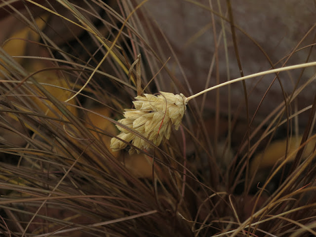 THE HUSK OF CANARY GRASS AFTER IT HAS DROPPED ITS SEEDS IN FRONT OF CAREX GRASS