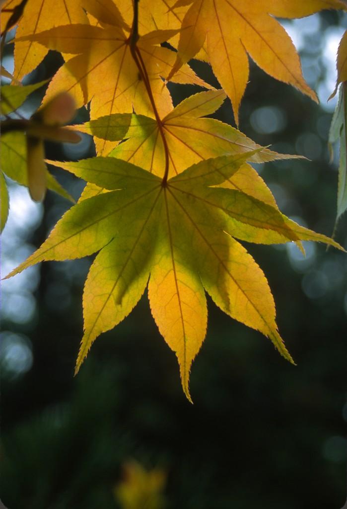 Flora Wonder Blog Maple Time