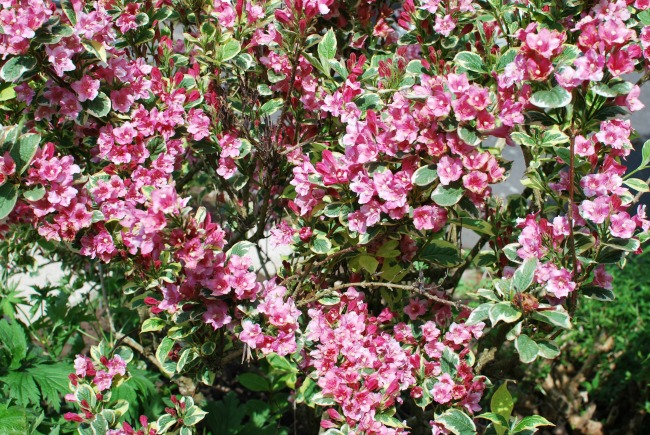 lots of pink flowers. Wigellia
