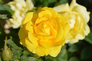 rangkaian bunga mawar kuning