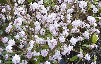 Daphne bholua 'Jacqueline Postill' in full bloom