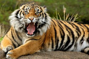 3 Warga Diserang Harimau Saat Panen Cassiavera di Gunung Raya