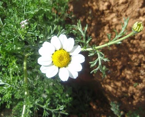 Matricaria (Matricaria marítima)flor blanca