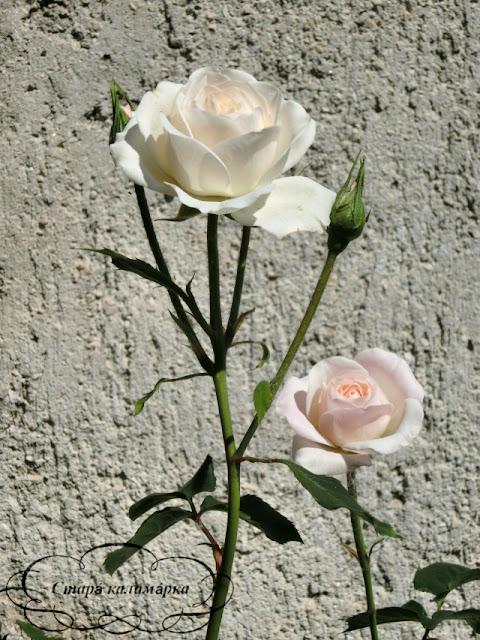 роза Szent Margit, розы, розарии, сад и розы