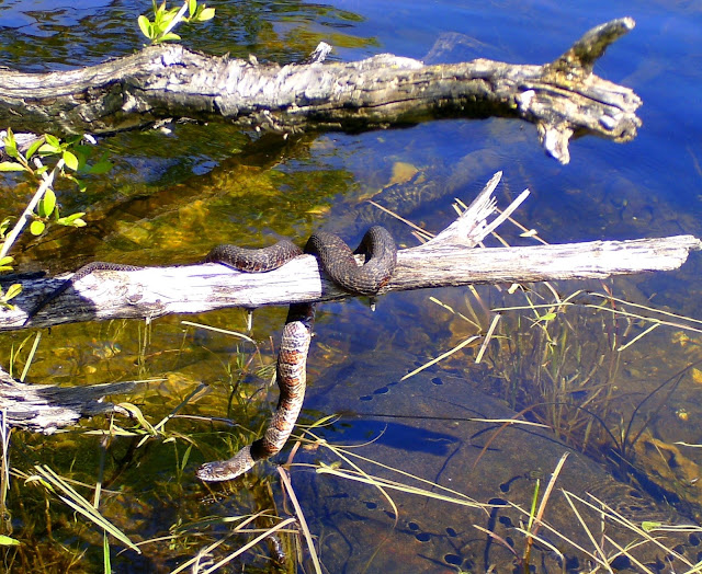 Schlangen sehen wir hier ja oefter, wenn sie sich regungslos auf den warmen Steinen oder einem Ast sonnen.