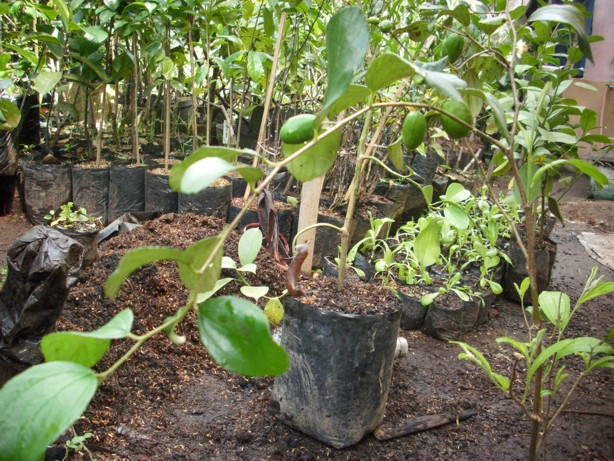 Supplier Bibit Pohon BuahBibit Pohon Leci