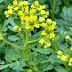 Ο απήγανος ένα βότανο της φύσης με θεραπευτικές ιδιότητές