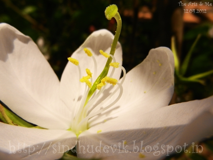 Bauhinia Acuminata - ಬಟ್ಟಲುಮಂದಾರ, observe the pollens and stigma