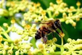 تحضير درس la société des abeilles