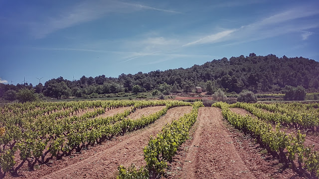 vinya succes vinicola conca de barbera