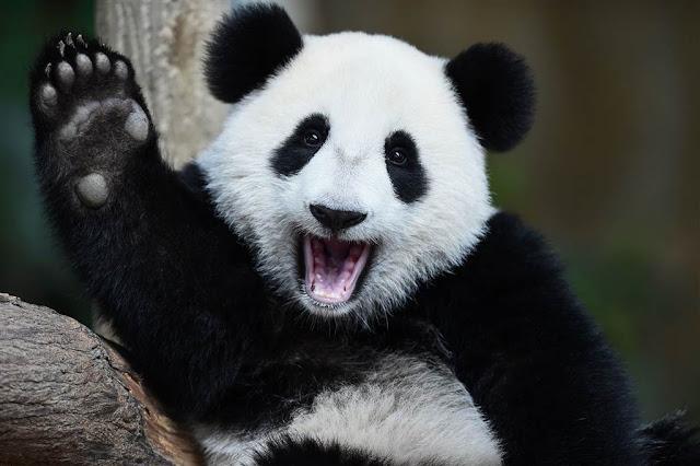 День народження панди