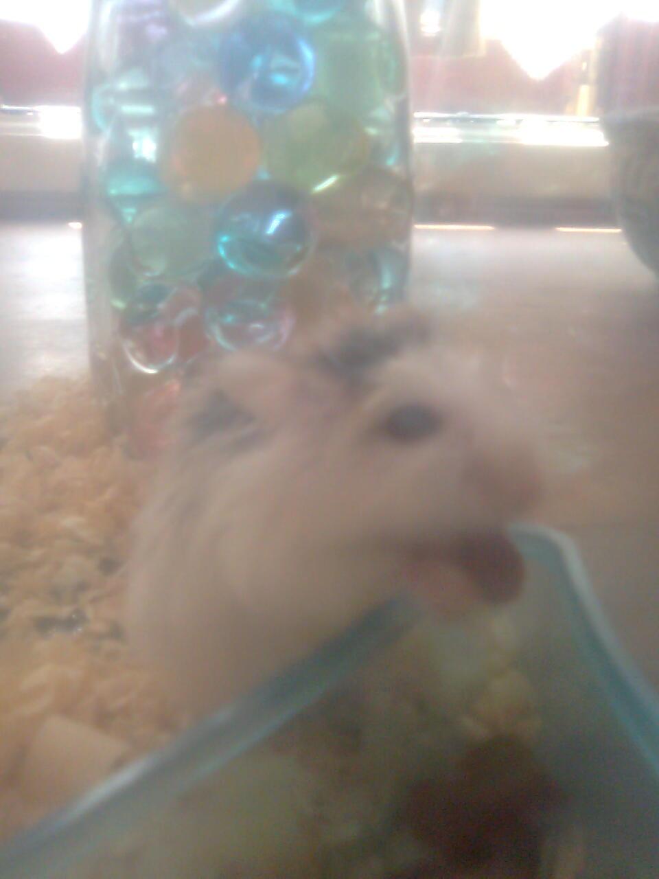Maya Marvellous Hamsterku Mmuaachh