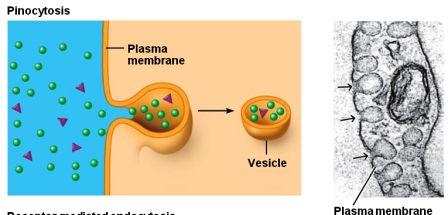 Membrane Transport for Macromolecules ~ Biology Exams 4 U
