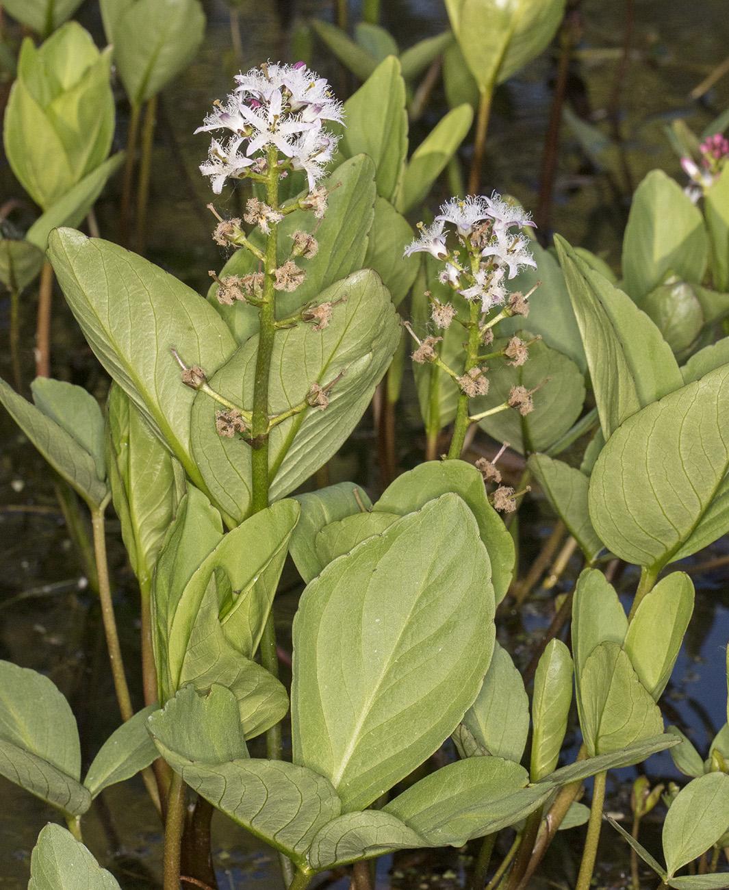 Oxygenating Plants Small Wildlife Ponds