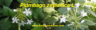 Back pain use Plumbago zeylanica