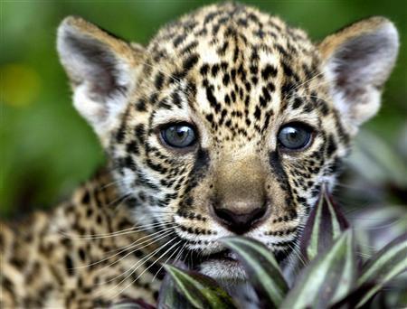 de jaguar in suriname: natuurbeheer wil geen hetze tegen katachtigen