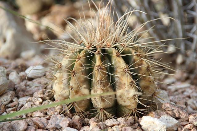 Cactus Freeze Damage