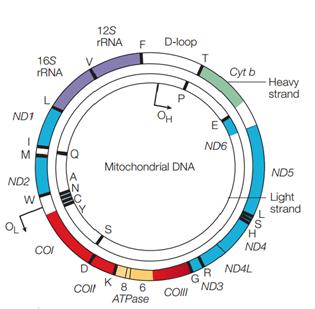 Gen - Gen dalam DNA mitokondria, Struktur DNA, DNA adalah, macam-macam DNA, DNA inti adalah, DNA mitokondria, gen sitokrom b adalah, jenis jenis basa nitrogen, pasangan basa nitrogen, identifikasi DNA,