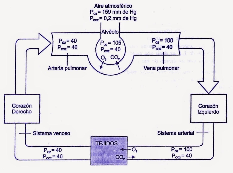 Circuito Respiratorio : Etapas de la respiración