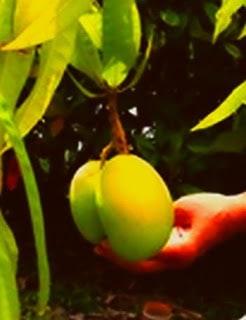 Ripe Mangoes on Tree